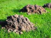 Zahradní trávník - ochrana proti krtkum - jak odplašit krta