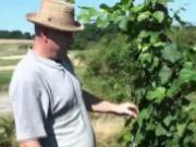 Vyplievanie viniča - ako sa vyplieva vinič