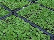 Ako  vysádzať mladé sadenice - pikyrovanie