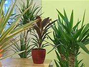 Pestovanie kvetov - Dracena, Cordyline, Yucca - ako sa starať o kvety
