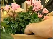 Pestovanie kvetov - Solanum a Cyclamen - ako sa starať o kvety