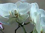 Orchidea - pestovanie orchideí - ako pestovať orchideu