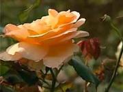 Ruže - strihanie ruží - ako strihať ruže