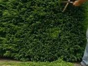 Ihličnaté ploty - ako strihať plot z ihličnanov