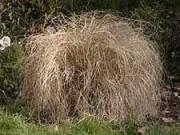 Okrasné trávy - střihání okrasné trávy