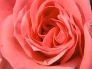 Sadenie ruží - ako sadiť ruže