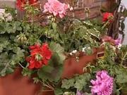 Balkonové kvety - ako sadiť balkonové kvety