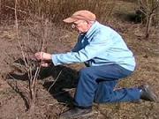 Jarný rez ovocných drevín - strihanie ovocných kríkov na jar