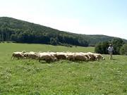 Ovčí syr - Ako sa robi ovčí syr - Ovčia farma