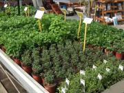 Pěstováni bylinek - Jak pestovat bylinky