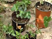 Vysadba jahôd a malín - ako sadiť jahody,maliny a černice