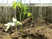 Sadenie paradajok - ako sadiť paradajky