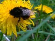 Púpavový med - ako pripraviť púpavový med - recept