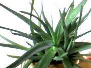 Aloe vera - Ako získať dužinu z aloe
