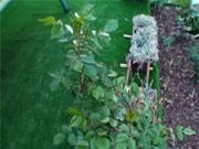 Sadenie ruží - Ako sa sadia ruže