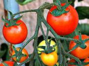 Pestovanie paradajok - Starostlivosť o paradajky v lete - ako sa starať o paradajky