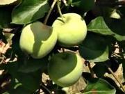 Letný rez jabloní - ako strihať jabloň