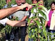 Letný rez v auguste - Strihanie čerešní a marhúľ