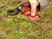 Jak udělat jarní řez ovocných dřevin - jak stříhat rybíz a angrešt
