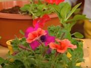 Petúnie - pestovanie a rozmnožovanie petúnii