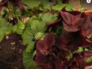 Pestovanie muškátov - ako pestovať muškáty