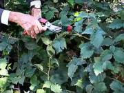 Strihanie černíc - ako strihať černice - rez černíc