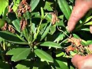 Rododendróny - ako pestovať rododendróny - strihanie rododendronov