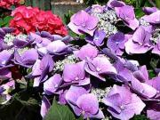 Hortenzia - ako pestovať  hortenzie