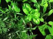 Ako pestovať bylinky doma na záhrade