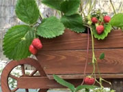 Netradičné pestovanie jahôd