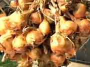 Pestovanie cibule - ako pestovať cibuľu