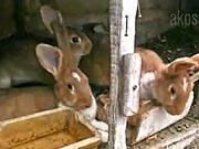 Chov zajacov - Úžitkový chov zajacov v chlievikoch